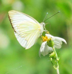 Диктант (+аудіо) ''Метелики'' (За Іваном Багряним) 178 слів